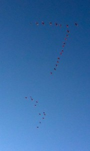 Flamingos fly in Formation